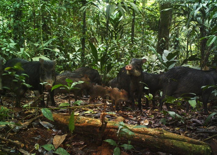 A group of white-lipped peccaries (Tayassu pecari). Peccaries are commonly hunted across Peru