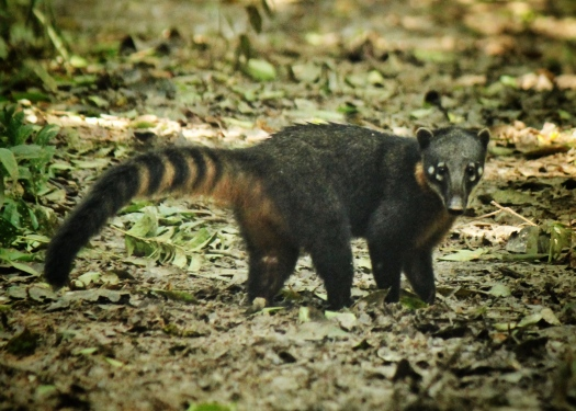 Coati (Nassua nasua), locally called 'achuni' -described by a few conservation workers as having extremely rich meat